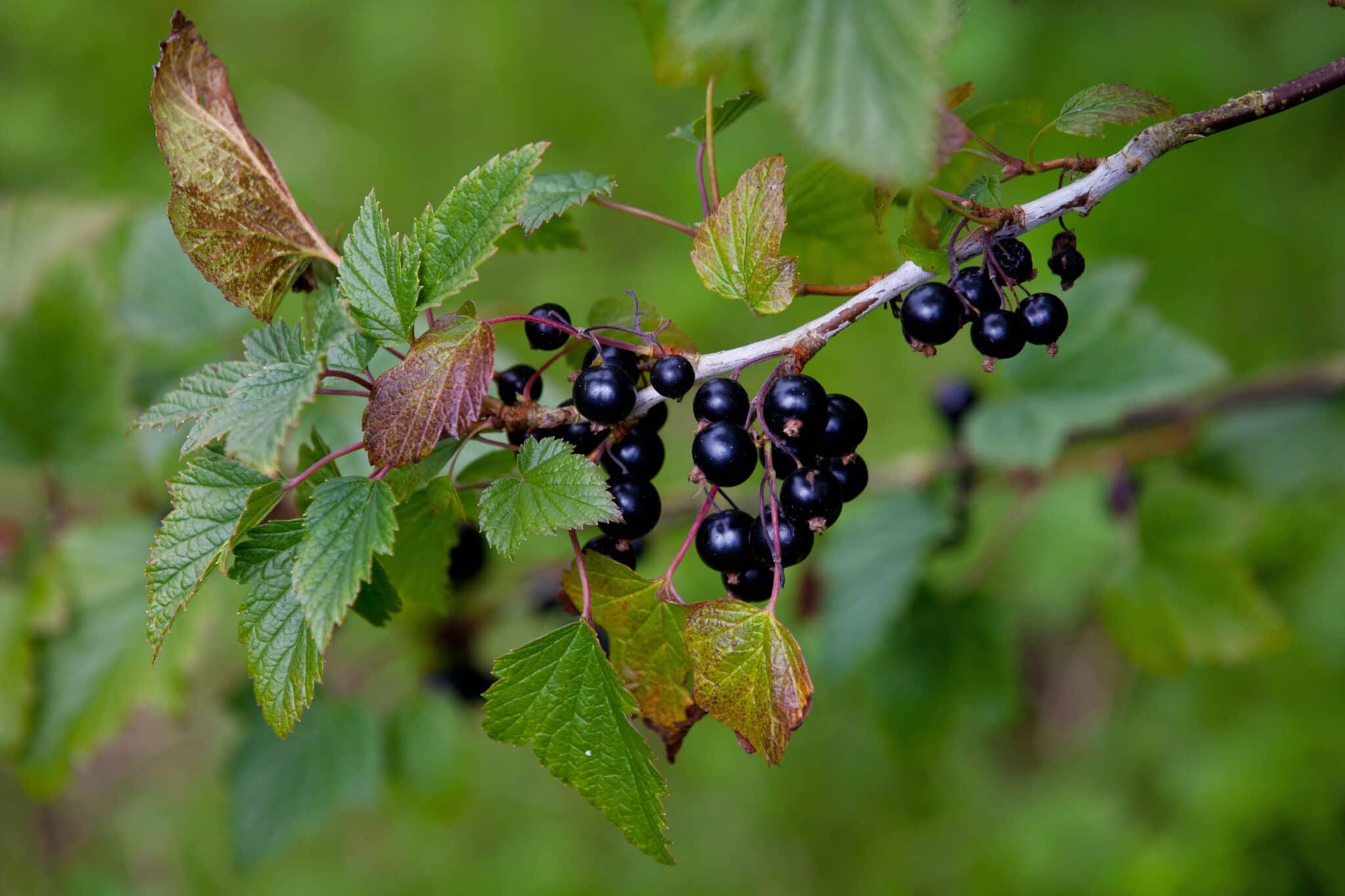 The Health Benefits of Blackcurrants