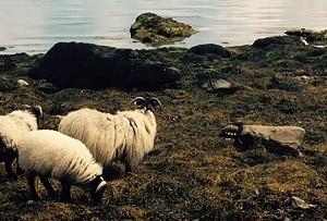 Calvey's Achill Mountain Lamb, Irish Food