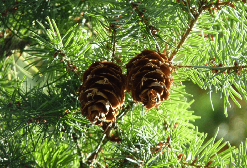 8 Ways To Eat Your Christmas Tree