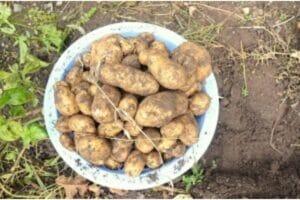 Grow your own potato