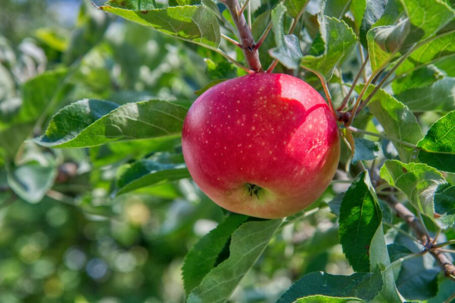 Toffee Apples – A traditional favourite
