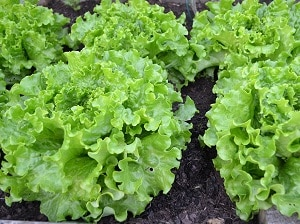 Grow your own Salad, Lettuce, Gardening