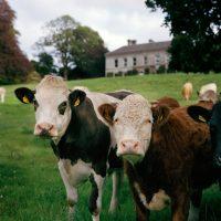 Ballyvolane Cows